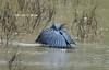 black Heron using an umbrella to fish