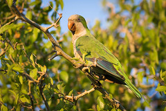 Cotorra - Myiopsitta monachus - Monk Parakee (Jorge Schlemmer) Tags: monk cotorra monachus myiopsitta parakee