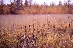 Cattails And Tamaracks (Laurette Victoria) Tags: autumn fall wisconsin cattails swamp marsh waupaca typha larixlaricina tamaracks