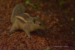 DSC_1141 (kaizen.deepakumd) Tags: animals squirel