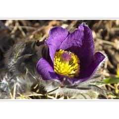 Die erste im Jahr (horstmall) Tags: purple lila springflower kuhschelle kchenschelle schwbischealb swabianalps naturschutz schafweide frhblher frhlingsblume albtrauf earlybloomer jurasouabe horstmall biosphrenparkschwbischealb