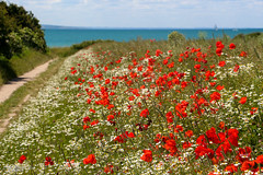 Summer by the seaside (Zaphod Beeblebrox 1970) Tags: flowers red sea island see coast seaside meer sommer meadow blumen baltic shore poppy poppies ostsee fehmarn kste deutsche mohn mohnblumen
