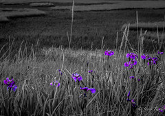 20150709-_MG_7364 (stephavre75) Tags: summer blackandwhite color nature beauty grass alaska landscape spring afternoon outdoor wildlife dramatic flowersplants individuals
