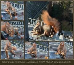 """und komme schon an die Nüsse ... ! (flixx-ak) Tags: germany deutschland squirrel eichhörnchen mosaik 2016 flixxakoffenbachammainhessen """"anvormeinemfenster"""""""