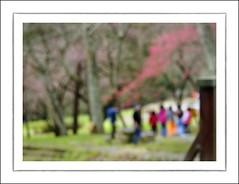 F_DSC2268-1-Nikon D300S-Nikkor 28-300mm-May Lee  (May-margy) Tags: flowers portrait blur woods bokeh cherryblossom       wulingfarm      taichungcity  thefirstdayofspring nikond300s maymargy nikkor28300mm maylee  mylensandmyimagination streetviewphotographytaiwan  naturalcoincidencethrumylens  linesformandlightandshadows fdsc22681