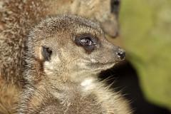 Erdmnnchen (Michael Dring) Tags: zoo bismarck gelsenkirchen erdmnnchen meerkats zoomerlebniswelt michaeldring d7200 sp150600