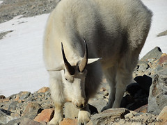 DSC03010 (forrest.croce) Tags: mountain mountains wildlife goats backpacking glaciers northcascades noca