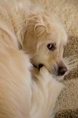 The hunter and his kill (Morgan Calliope) Tags: dog goldenretriever humor pantoufle