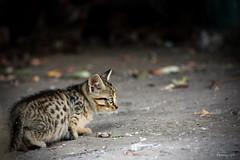 Chat errant (Mariie76) Tags: chat animaux petit mignon chaton flin sauvage jeune fuite tigr errant