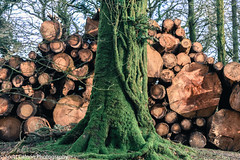 Deadwood And Living Wood (scott calnon) Tags: wood trees green nature living nikon branches reservoir devon deadwood twisting burrator d810