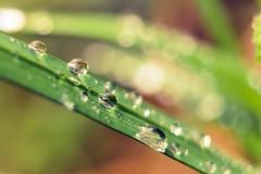 Un poco de lluvia ( Mrs ) Tags: naturaleza macro verde planta canon lluvia agua exterior bokeh gotas dots hierba airelibre