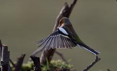 Chaffinch (ftm599) Tags: wild bird nature birds flying nikon wildlife bif chaffinch lowbarns durhamwildlifetrust