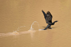 Ricochet (Jacques GUILLE) Tags: india tamilnadu inde littlecormorant phalocrocoraxniger