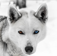 The Wolf Within.jpg (Darren Berg) Tags: dog color wisconsin eyes husky wolf siberia sledding siberian mushing bayfield selective wolfsong