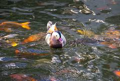 Mandarin Duck (Pittur001) Tags: sunset orange lake fish sunrise duck pond colours malta cannon mandarin 60d