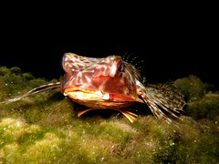 Dactyloptena orientalis (jeanmarie.gradot) Tags: reunion coral night canon underwater indianocean snorkeling reef reunionisland g15 etangsal