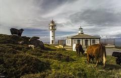 Vacas no Faro Tourian (juandelux) Tags: espaa costa corua galicia galiza campo vacas ligthouse tourian