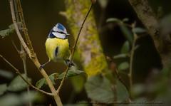 Msange bleue (Claude Pokropek) Tags: sony tamron oiseau a77 hautegaronne stlon 150600