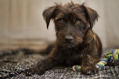 Muky (Zsuzsa Poór) Tags: dog pet animal dof interior perro mascota profundidaddecampo ef50mmf14usm coth fondonegro canonistas canoneos7d muky coth5