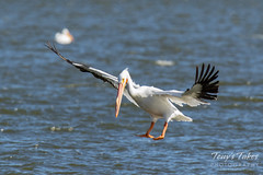 American White Pelican fishing sequence - 5 of 20