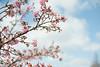 Kawazuzakura (Nazra Zahri) Tags: winter nature japan 50mm nikon sunny okayama plumblossoms 2016 dowa 50mmf14d kawazuzakura 河津桜 d700 konanairport