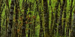 Moss Boles (Brian Truono Photography) Tags: california morning trees light panorama nature forest landscape early us moss spring woods glow unitedstates pano panoramic mountshasta siskiyou mtshasta hdr highdynamicrange boles exposureblending