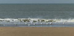 Meeuwen op het strand van Scheveningen (Olga and Peter) Tags: sea waves scheveningen gulls nederland thenetherlands zee meeuwen golven fp1100691