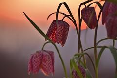Schachbrettblume (chrissie.007) Tags: flower spring sonnenuntergang blossoms pflanze blume blten springflower schachbrettblume schachblume frhlingsblume kiebitzei blumedesjahres1993