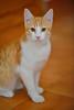 Gato Jinks  (8) (adopcionesfelinasvalencia) Tags: gato jinks