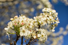 Bradford Pear Blossoms (J.L. Ramsaur Photography) Tags: flowers trees flower macro nature closeup landscape outdoors photography whiteflower photo spring nikon dof bokeh tennessee bluesky pic depthoffield photograph thesouth springtime cumberlandplateau cookeville macrophotography closeupphotography bradfordpear floweringtrees 2016 putnamcounty deepbluesky cookevilletn springisintheair middletennessee bradfordpearblossoms cookevilletennessee ibeauty southernlandscape tennesseephotographer southernphotography screamofthephotographer jlrphotography photographyforgod d7200 engineerswithcameras godsartwork naturespaintbrush jlramsaurphotography nikond7200 cookevegas