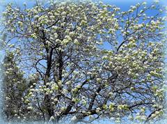 Spring (Stella VM) Tags: trees sky tree spring blossoms