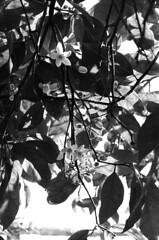 Spring in my backyard (Ninoo Vita) Tags: white black blanco branco misty sepia 50mm one nikon noir gloomy shot kodak trix negro overcast f100 preto 150 e 400 series pancake asa 20 nikkor dim rodinal schwarzweiss emotions somber bianco blanc murky nero schwarz dingy drab  118 darkened shadowy emozioni weis celcius r09 monochromia blancblack inspirationalphotography blancnoiretblanc emozioniinbiancoeneroemotionsinblackandwhite naturebynikon