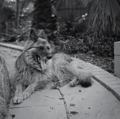 Adventures in Film (Shooting Ben) Tags: dog pet cute film beautiful animals mediumformat fur canine 120film yashica yashicamat caffenol caffenolc