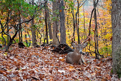 Happy to See You (Redux) (John Bense) Tags: autumn trees cute fall texture nature smile leaves animal animals forest happy washingtondc leaf woods stag natural outdoor wildlife deer antlers foliage retouch rockcreekpark rockcreek redux redo