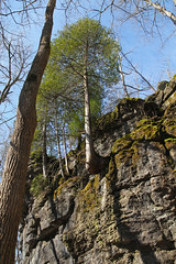 Cliff-Dwelling Tree, Clifton Gorge  Miami Township, Greene County, Ohio (Pythaglio) Tags: county trees ohio cliff tree green nature rock stone moss spring state miami cedar ledge gorge needles greene preserve clifton cliffdwelling township conifer