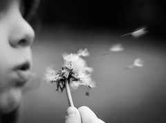 The flight of the dandelion (Kevin STRAGLIATI) Tags: bw plant childhood kid dof play outdoor memories daughter dandelion 500d 50mmstm