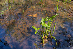Toad Tadpoles (scott_clark) Tags: plant nature water animals outdoors spring wildlife toads toad tadpoles amphibians wetland sigma15mm slta77