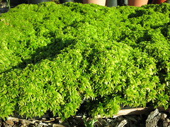 sphagnum in cultivation (meizzwang) Tags: plant moss companion carnivorous cultivation sphagnum