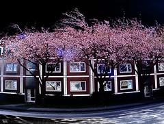 The sweet smell of cherry blossoms (peterpe1) Tags: cherry flickr cherrytree witten kirsche kirschbaum peterpe1 kyleebartz