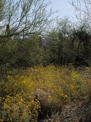 Brittle bush garden, Arizona-Sonora Desert Museum (Distraction Limited) Tags: flowers arizona nature tucson desertmuseum arizonasonoradesertmuseum brittlebush incienso encelia enceliafarinosa goldenhills cotx hierbadelvaso asdm20160321