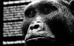 Primatomorpha... (Stu Bo) Tags: light blackandwhite chicago black face animal canon mammal photography grey words eyes shadows display expression monotone fieldmuseum tones primate blackwhitephotos sbimageworks primatomorpha