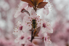 Syrphus (listera_ovata) Tags: spring hoverfly bahar syrphus