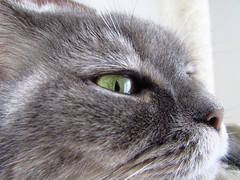 Bsistaz (evil king) Tags: cute cat relax furry kitten funny chat sweet pussy adorable kitty fluffy gato shorthair british katze chill pussycat sss siri moonie perser bsi