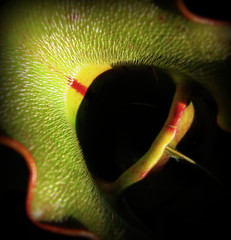 IMG_7705 (Mat_B) Tags: county red lake plant detail macro green nature forest photography illinois spring natural state teeth volo swamp area bog pitcher preserve carnivorous wetland hairs 2016