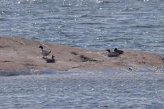 Closeup of the goosanders (JonasSuni) Tags: sea bird nature water animal fauna suomi finland spring outdoor wildlife vr kevt aquaticbird