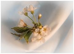 (Fay2603) Tags: flowers white black monochrome leaves cherry blossom background grau blumen indoor stamens gelb frame grn hellblau bltter bltenbltter blten hintergrund weis kirschblten einfarbig fotorahmen staubgefse