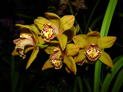 the 2016 pacific orchid exposition, Cymbidium Pinata x (Pure Treasure x Red Beauty) orchid hybrid (nolehace) Tags: winter nolehace fz35 216 plant bloom flower cymbidium pinata pure treasure red beauty orchid hybrid san francisco pacific exposition poe sfos fort mason sanfrancisco