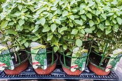 20160415 Provence, France 02262 (R H Kamen) Tags: plant france herbs label basil freshness marketstall vaucluse potplant carpentras provencealpesctedazur rhkamen 4objects
