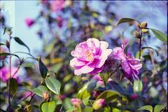 (333Bracket) Tags: pink flower london film nature wall 35mm graffiti doubleexposure fd50mmf18 analogue canonae1 booked 333bracket