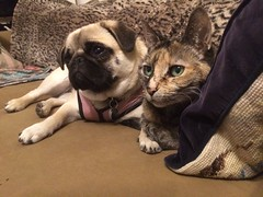 the last moment before it ended in nose-bopping (wombatarama) Tags: cat pug